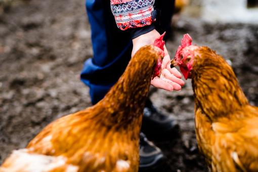 Hühner füttern auf dem Vauß-Hof