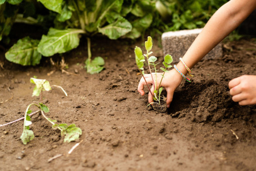 Jungpflanzen kommen in die Erde